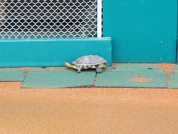 ▲新莊球場出現烏龜。(圖/中職提供)