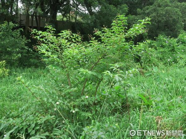 ▲榮星花園風箱樹(圖/翻攝自臺北市政府官網)。