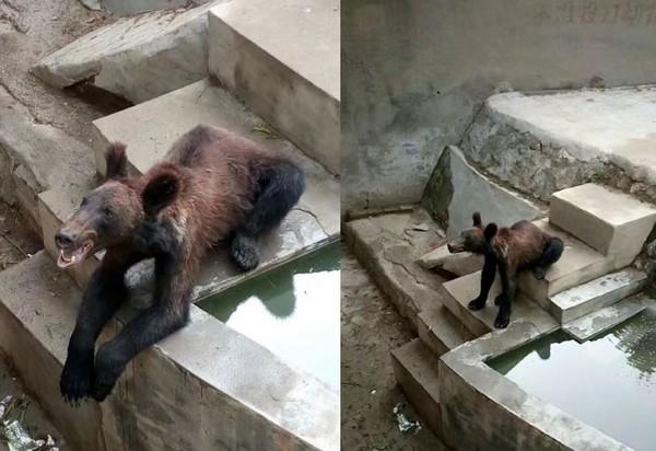 ▲棕熊「瘦骨嶙峋」疑遭虐 園方:小熊不會囤積脂肪(圖/翻攝自澎湃新聞)