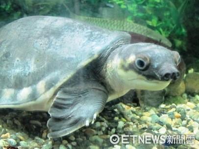 行政院農業委員會公告修正「保育類野生動物名錄」,新增197種原產於國外的爬蟲類動物。(圖/花蓮縣政府提供)