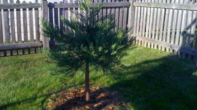 養30年胡椒樹被拔!樹藝家發狠報復「種100棵巨杉包圍政府」