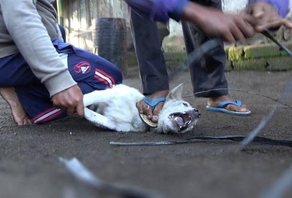 ▲▼峇里島吃狗肉習俗。(翻攝自Animals Australia)