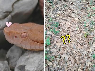 小心有蛇!「眼力大考驗」你找得到這堆枯葉裡的蛇蛇嗎
