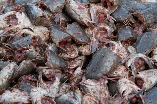 死魚(圖/翻攝自plazilla)