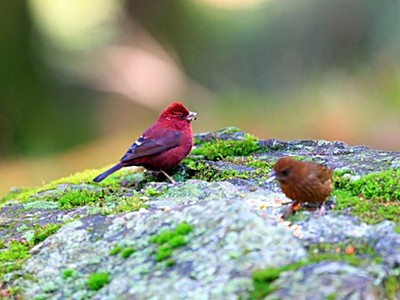 墨西哥鳥鳥會「撿菸蒂殺蟲」了,但這害牠們染色體異常