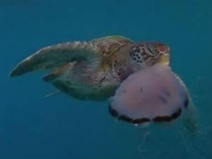深海8+9!海龜「手刀斷鬚」秒殺水母 吃完一臉不屑吐屍