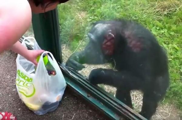 黑猩猩敲窗向遊客討飲料喝。(圖/翻攝自YouTube/storyful)