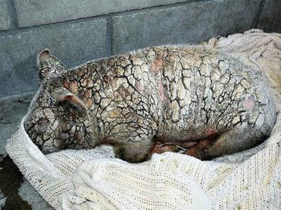 小豬全身「龜裂爛皮」長滿疥癬,被丟到收容所只剩一口氣