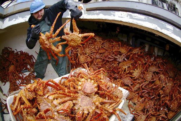▲▼阿拉斯加帝王蟹。(圖/達志影像/美聯社)