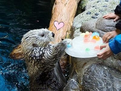 全日本最老海獺過生日,拿到冰蛋糕開心得狂揉臉臉~