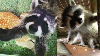 13張「浣熊面露凶光」的照片 證明牠們是地表最邪惡生物