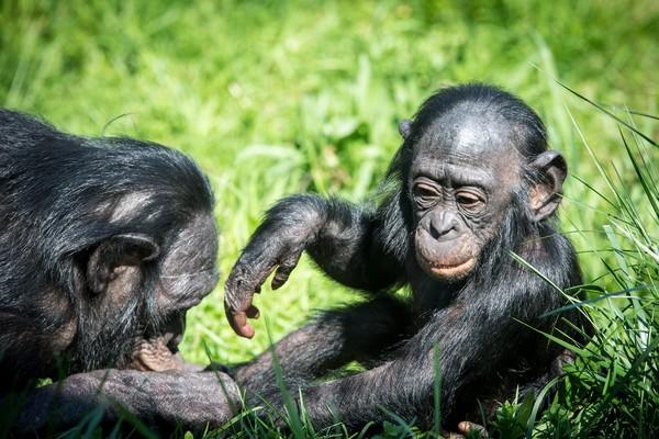 ▲▼倭黑猩猩。(圖/達志影像/美聯社)