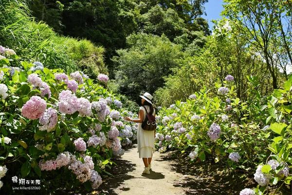 這裡還有繡球花海杉林溪上萬株繡球花團盛放到8月 Ettoday 旅遊雲