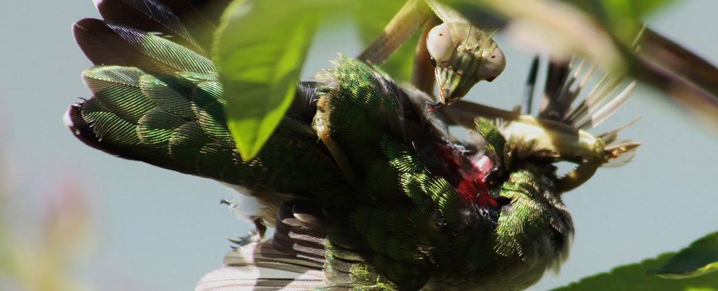 "全球螳螂驚現「殭屍化」!欲捕食鳥類反被剖頭吸腦漿(翻攝自ScienceAlert/ ""What's That Bug?"" by Randy Anderson)"