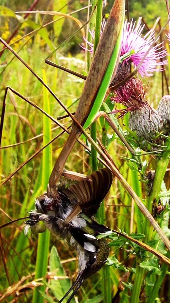 全球螳螂驚現「殭屍化」!欲捕食鳥類反被剖頭吸腦漿(翻攝自ScienceAlert/Chris McCarthy)