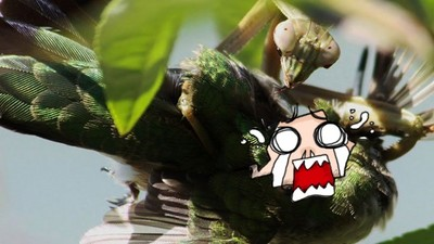 全球螳螂驚現「殭屍化」!鳥類捕食反遭砍頭...腦漿被吸光