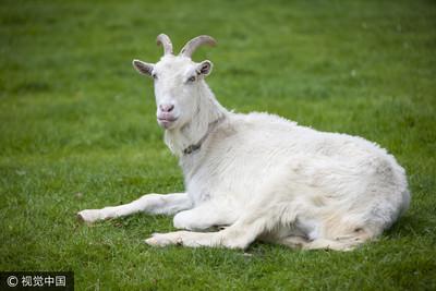 苦存70萬被山羊吃光 怒火烤請記者吃