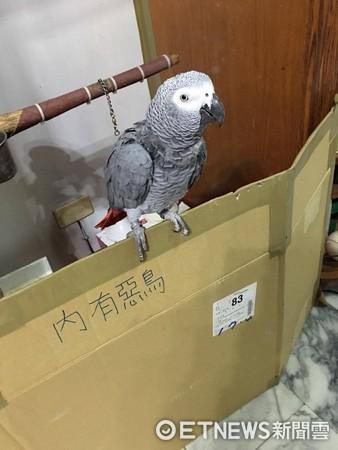 ▲▼非常會說話的非洲灰鸚鵡李安。(圖/網友李沁臻授權提供。)