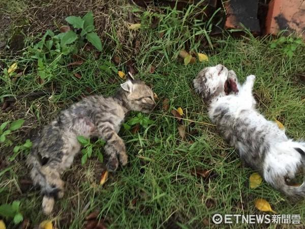 ▲▼嘉義疑似有貓被變態割喉 僅一隻小貓倖存。(圖/嘉義市動物守護協會提供)