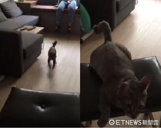擁有狗靈魂!媽媽一叫,便爆衝過去的貓咪「將軍」。(圖/粉絲專頁/將軍與埃及提供。)