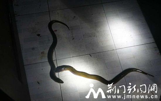 ▲▼黃鱔被當作蛇。(圖/翻攝自《荊門新聞網》)