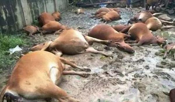 ▲▼山西朔州40頭肉牛遭雷擊暴斃,禍因或是全鋼鐵結構牛場。(圖/翻攝自山西晚報)