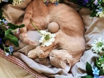 從發病到沒心跳...《貓咪葬禮》微影片 萬名網友淚別網紅貓