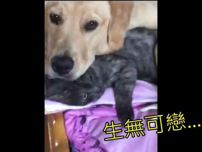 小黃金獵犬躺「喵枕頭」好蘇胡,灰貓抵抗無效一臉厭世XD