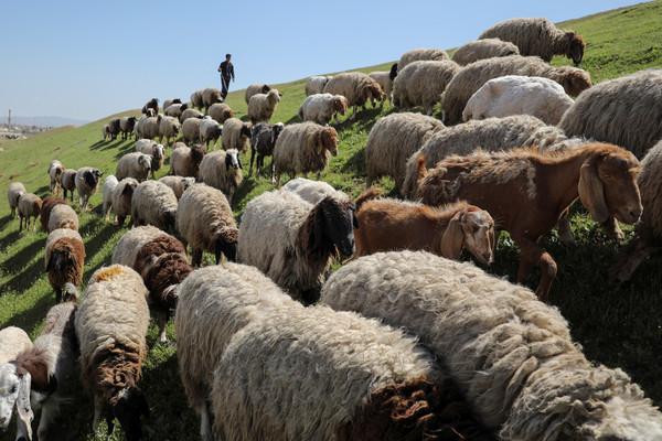 ▲綿羊,羊群。(圖/路透社)