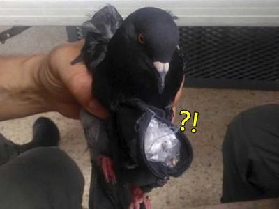 鴿子封包到了~國外毒梟竟在鴿身掛「毒品包」,飛進監獄走私管不到