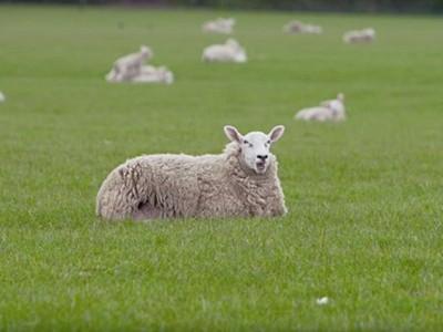 「史上最無聊電影」咩咩樂園 一播8小時畫面只有羊,光聽就睏了