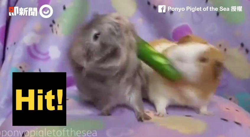 ▲▼網紅天竺鼠「Ponyo」和朋友搶食物。(圖/翻攝自即新聞)