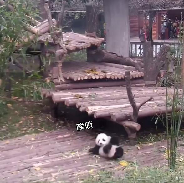 ▲▼貓熊寶寶拼命黏著飼育員抱抱。(圖/翻攝自FB,熊貓頻道iPanda)