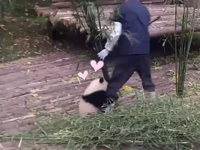 貓熊寶寶好黏好黏,緊抱飼育員就是不要分開~