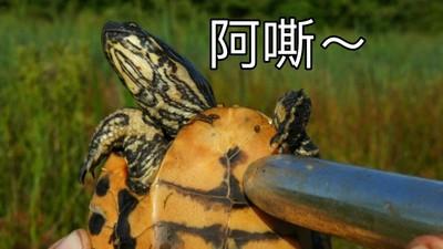 硬了!學者用「超自然震動」讓烏龜爽到伸出小O頭