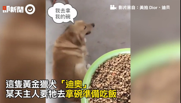 ▲▼黃金獵犬聽到要吃飯,竟然拿臉盆來裝。(圖/翻攝自即新聞)