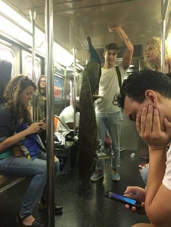 ▲有人看到男子帶「孔雀」搭地鐵,連忙拍照放上推特。(圖/翻攝自推特/chayesmatthew)