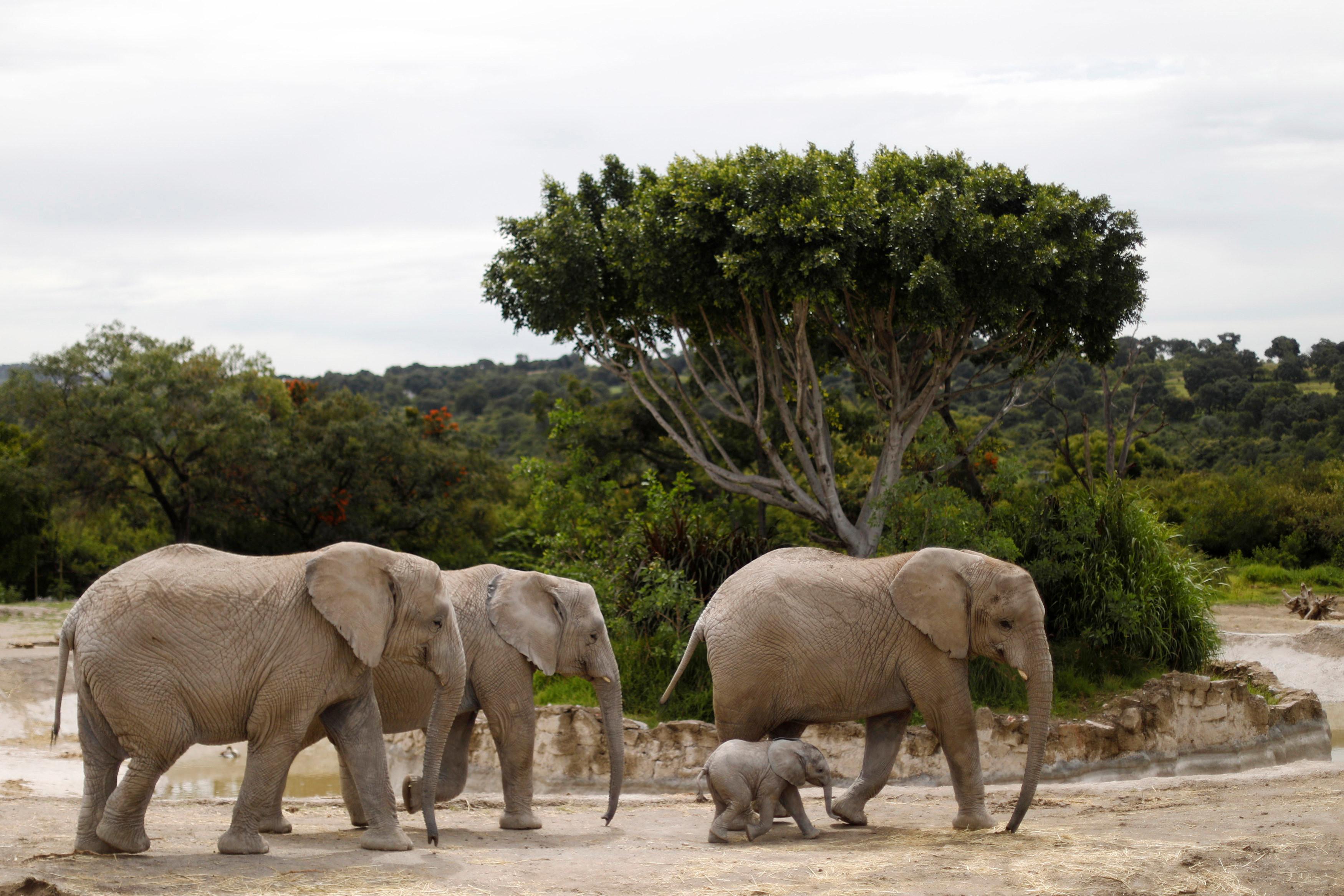 ▲▼大象、大象示意圖、象寶寶。(圖/路透社)