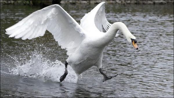天鵝。(圖/取自免費圖庫cc0)