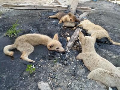 4隻小狗被黏柏油 只剩眼球能動!