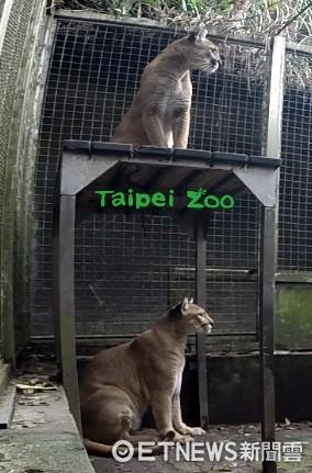 ▲動物園美洲獅誕下3寶寶。(圖/臺北市立動物園提供)