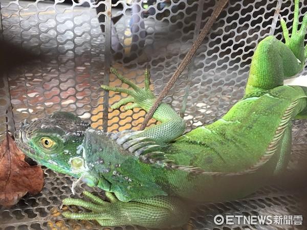 颱風過後綠鬣蜥逛大街 還跟消防員大玩「百米賽跑」。(圖/記者謝侑霖翻攝)