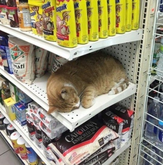 ▲▼日網友分享各種貓咪。(圖/翻攝自推特,sawakosawa3)