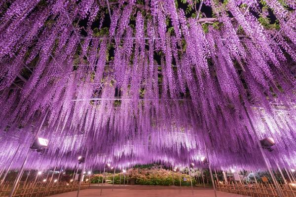 ▲足利花卉公園紫藤花。(圖/足利花卉公園提供)