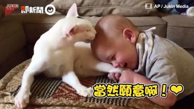 寶寶全臉埋進白貓後腿,換得喵皇「舔額頭」寵幸❤