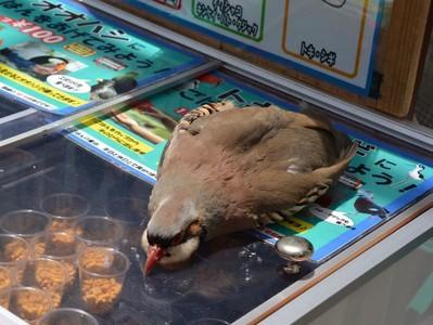這坨「胖鳥冰淇淋」是…?鷓鴣受不了高溫 趴冰櫃融化啦