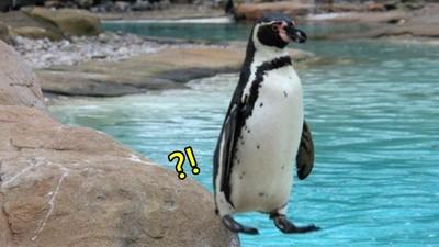 企鵝「只有一點著地」竟然不會摔 根本是站高台邊的洛克人