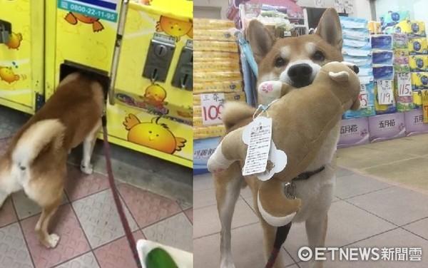 ▲柴犬超愛娃娃機。(圖/Wish柴提供)