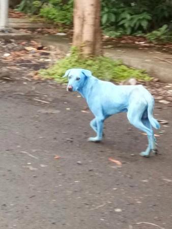 ▲▼印度孟買和水汙染,導致出現藍色狗。(圖/翻攝自Arati Chauhan臉書)