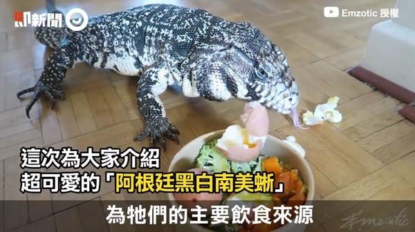 ▲▼南美蜥是雜食性動物。(圖/翻攝自即新聞,由Emzotic提供授權,下同)